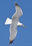 Adult Yellow-legged gull 27-02-2016 Grou.jpg