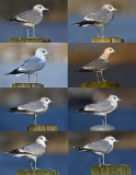 8 second winter common gull.jpg