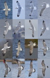 Caspian gull grou 2016 16 different birds Pontische meeuwen 16 vogels.jpg