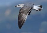 Geelpootmeeuw Yellow-legged gull second winter nov Malaga 1.jpg