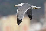 Geelpootmeeuw Yellow-legged gull fourth winter nov Malaga 1.jpg