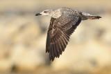 Geelpootmeeuw Yellow-legged gull first winter nov Malaga 1.jpg