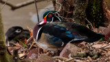 Male Wood Duck in Fall colors