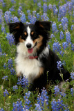 bluebonnet_dogs