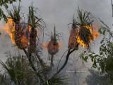 Burning Pandanus