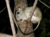 Brush-tailed Rabbit-rat, Conilurus penicillatus
