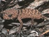 Centralian Knob-tailed gecko, Nephrurus amyae