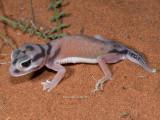 Pale Knob-tailed Gecko Nephrurus laevissimus