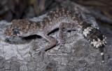Granite Thick-tailed Gecko Uvidicolus sphyrurus