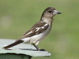 Pied Butcherbird, Juvenile