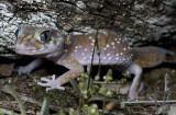 Underwoodisaurus milii, Thick-tailed Gecko.