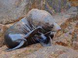 Juvenile Australian Sea Lion