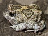 Notaden melanoscaphus
