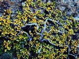 Saule herbacé nain aux couleurs de l'automne (lacs d'Aule)