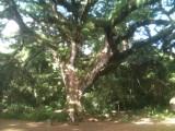 Grand Zamana de Martinique
