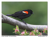 Carouge à épaulettes -M- Red-winged blackbird