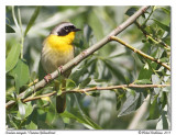 Paruline masquée - Common yellowthroat