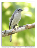 Gobemoucheron gris-bleuBlue-gray Knatcatcher