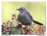 Moqueur chat-Gray catbird