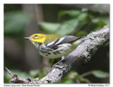 Paruline à gorge noire - Black throated green warbler