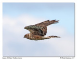 Busard St-Martin - Northern Harrier