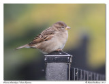 Moineau - House sparrow