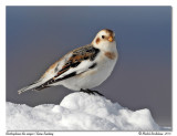 Bruant des neiges - Snow bunting