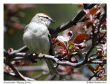 Bruant familier - Chipping sparrow