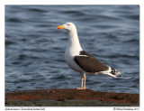 Goéland marin - Great black-backed gull