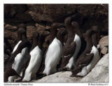 Guillemot marmette - Common Mure