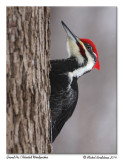 Grand pic - Pileated woodpecker