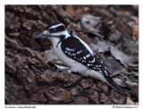Pic chevelu - Hairy woodpecker