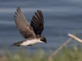 Hirondelle bicoloreTree Swallow