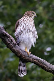 Épervier de CooperCooper's Hawk