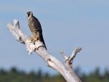 Faucon pélerinPeregrine Falcon