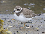 Pluvier semipalméSemipalmated Plover