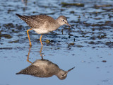 Petit ChevalierLesser Yellowlegs