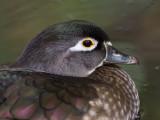 Canard branchuWood Duck