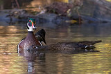 Canards branchusWood Ducks