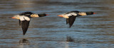 Grand harlesCommon Mergansers