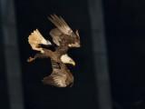 Pygargue à tête blancheBald Eagle