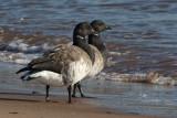 Bernache cravantBrant Goose