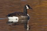 Bernache du CanadaCanada Goose