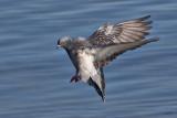 Pigeon bisetRock Pigeon