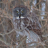 Chouette laponeGrey Owl