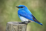 _DSC1807pb.jpg Mountain Bluebird