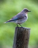 _DSC2349pb.jpg  The Female Bluebird