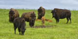 _DSC4900pb.jpg  Bison on the Prairies
