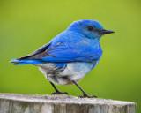 _DSC4883pb.jpg The Beautiful Male Mountain Bluebird