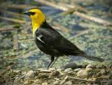 _DSC6479pb.jpg Yellowheaded Blackbird